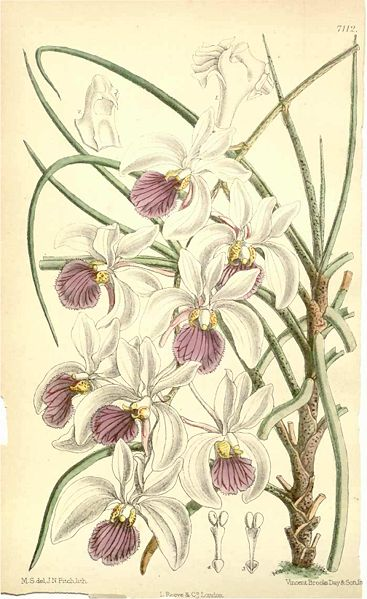Botanical print from an 1890 issue of Curtis's Botanical Magazine. Source: Wikimedia Commons.